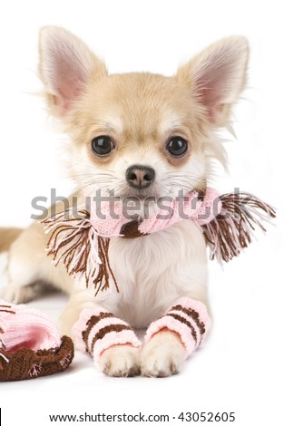 nice chihuahua puppy with knitted set isolated on white background