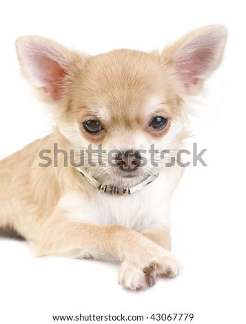 nice chihuahua puppy with necklace portrait