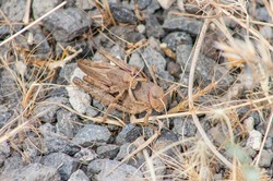 Nocaracris citripes is a wingless grasshopper and they usually mate from late June to early July. It is an endemic grasshoppers living in Turkey's Southeast.