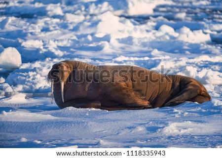 norway landscape nature walrus on an ice floe  of Spitsbergen Longyearbyen  Svalbard   arctic winter  polar sunshine day  sky
