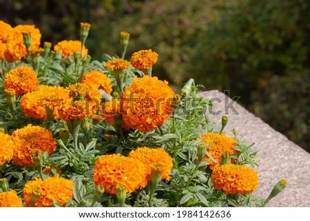 12 Nov 2006 the Closeup of orange marigold flowers and foliage Foto d'archivio ©