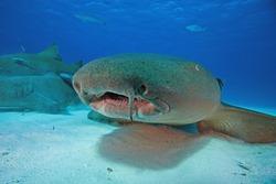 Nurse shark, Nebrius ferrugineus