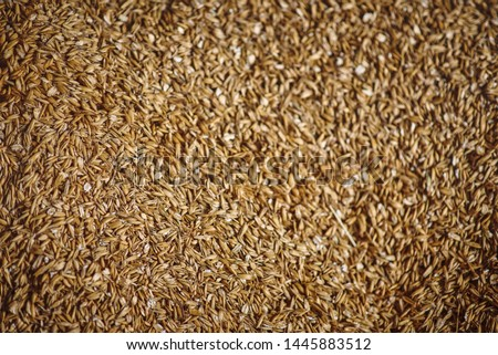 Oats whole grains. Picture on the wall. Oats for a horse