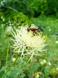 Сockchafer colored beatle sitting on the flower