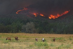 2015 Okanogan Complex Wild Fire:  Horses graze peacefully in a pasture in Riverside, WA, despite the rapid approach of flames and heavy smoke from the Tunk Block portion of the wildfire complex