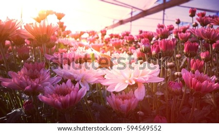 old rose color chrysanth...