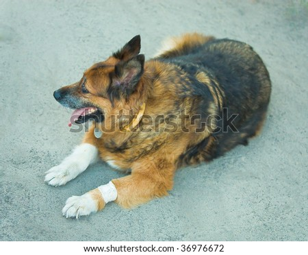 old sick dog with bandaged paw