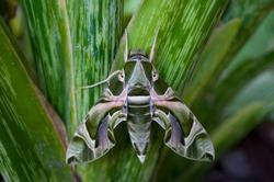Oleander Hawk-moth or Gardenia Hawk-moth, Daphnis nerii
