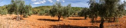 olive trees in Spain with red ground in autumn, sunny weather