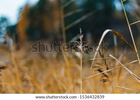 Сolorful natural background with orange ears on the lake in autumn in October, delightful golden ear close-up on the river, beautiful blurred background with ears of wheat, rye, rye field. #1536432839