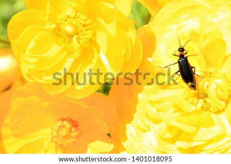 Сommon earwig or European earwig, Forficula auricularia (Dermaptera: Forficulidae) on a yellow flowers