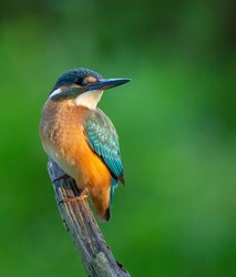 Сommon kingfisher, Alcedo atthis. The bird sits on a beautiful branch above the river waiting for a fish
