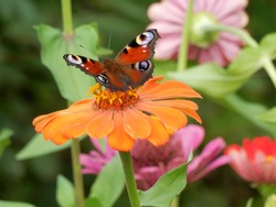 On a Sunny summer day, a red-orange butterfly landed on a flower with orange petals.