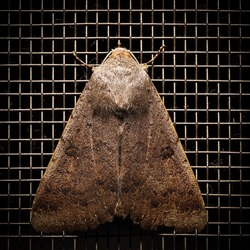 1 on 1 macro photo of Black-dotted brown moth's back perched on a wire mesh.
