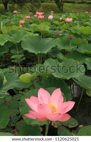 ■機械翻訳の結果  ポップアップ辞書をON/OFF The marsh where beautiful lotuses have begun to bloom ストックフォト ©