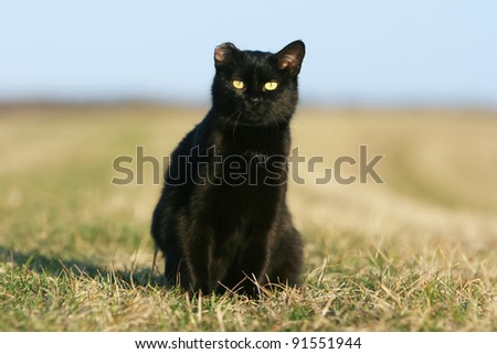 One-eared black cat at sunset. 	One eared black cat on the meadow.