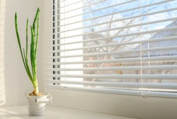 onion grow in a white little pail on the windowsill