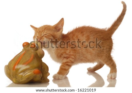orange and white tabby kitten with a toad - seven weeks old