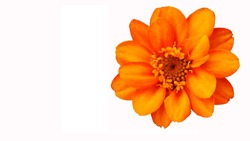 Orange flower on white background