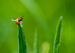 orange fly sits on grass on a green background