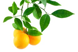 Oranges on a branch with leaves  Isolated on a white background
