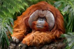 Orangutans,  orang-utan, orangutang, or orang-utang old animal rests in the tropical rainforest