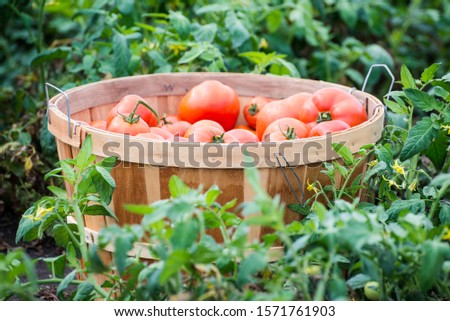 Organic homegrown red tomatoes in a bushel