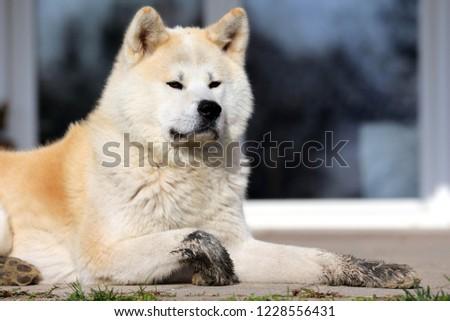Outdoor close up portrait of an akita dog or akita inu japanese akita  #1228556431