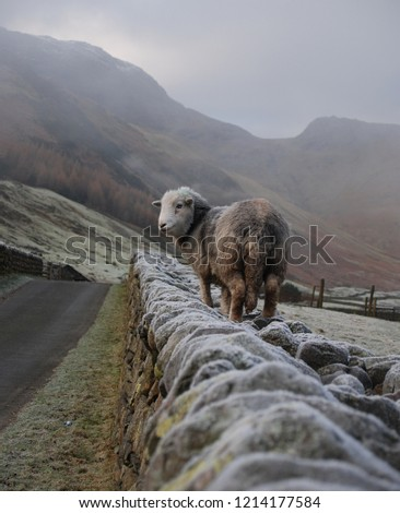 'Over the Wall' Herdwick sheep on an icy drystone wall in Great Langdale, Cumbria
