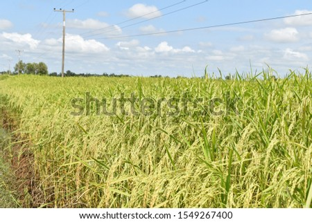 Paddy fields in the Kula fields,Thailand.