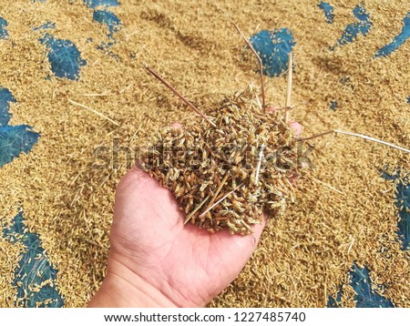 paddy,Paddy in hand,Paddy rice in Surin Province, Thailand #1227485740
