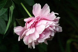 Paeonia  lactiflora Sarah Bernhardt.  Double pink peony flower. Paeonia lactiflora (Chinese peony or common garden peony). One flower.  side view