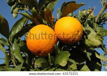 pair of oranges hanging, Israel