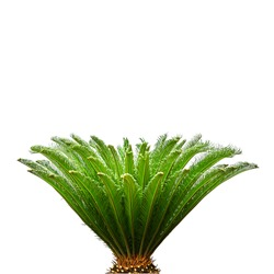 Palm leaves isolated on white background for decor your project.