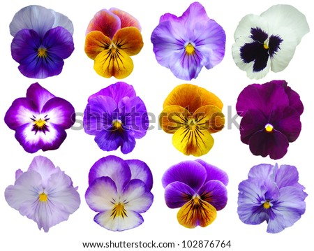 12 Pansies flowers on White background