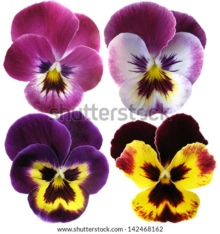 4 Pansies flowers on White background