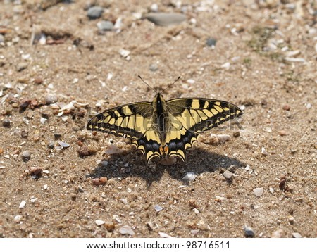 Papilio machaon Sits on sand having opened wings