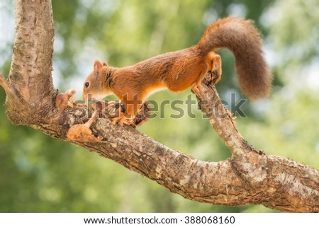 partly blurry red squirrel moving on tree with mushrooms  #388068160