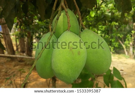 Pelajari pengucapannya  mango fruit trees have been fruitful mango can be made in the juice to eat if it is difficult to cook sweet and sour taste