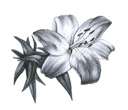 Pencil drawing Lily in a white background