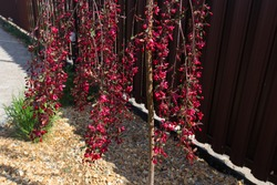 Pendulous branches cherry tree  with  red new leaves and red flowers against  brown fence. Blossoming Weeping branches  in a garden.
