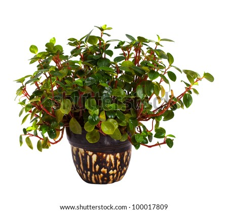 Peperomia obtusifolia in  pot. Isolated on white background