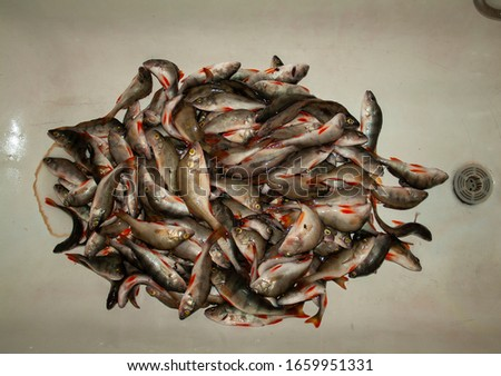 Perch. Fishing. Fish perch in a dirty white bath. A bunch of perches. Isolated fish perch with bait for the ice fishing. Freshwater fish isolated on white background. This fish known as the common,