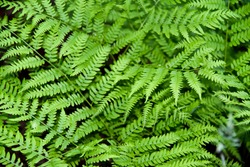 Perennial herbaceous fern - common bracken