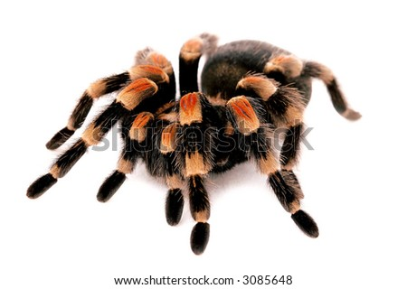 Pet Red Knee Tarantula (Brachypelma Smithi)