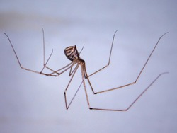 Pholcidae also known as Cellar spider