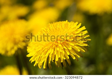 photographed close up flowers yellow dandelions
