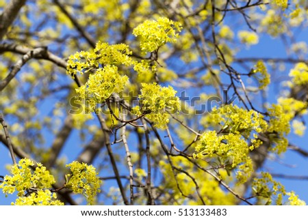 Photographed close up green and yellow flowers of a blossoming tree photographed close up green and yellow flowers of a blossoming tree maple spring season mightylinksfo