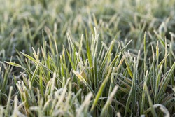 photographed close up young grass plants green wheat growing on agricultural field,  morning frost on leaves