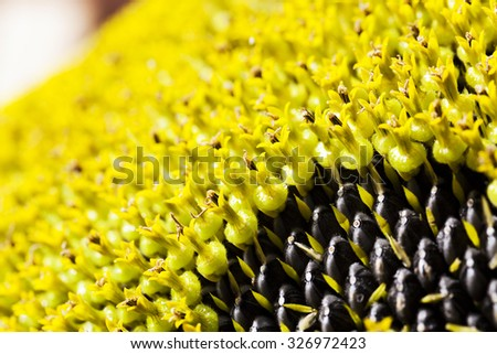 photographed closeup large outdoor flower sunflower. black sunflower seeds